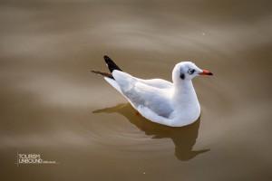 seagull-14